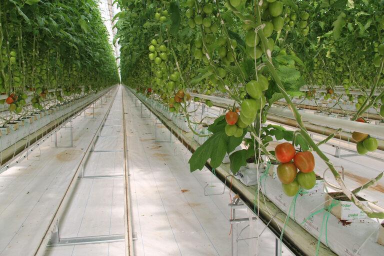 Greenhouse Tomato Production 6
