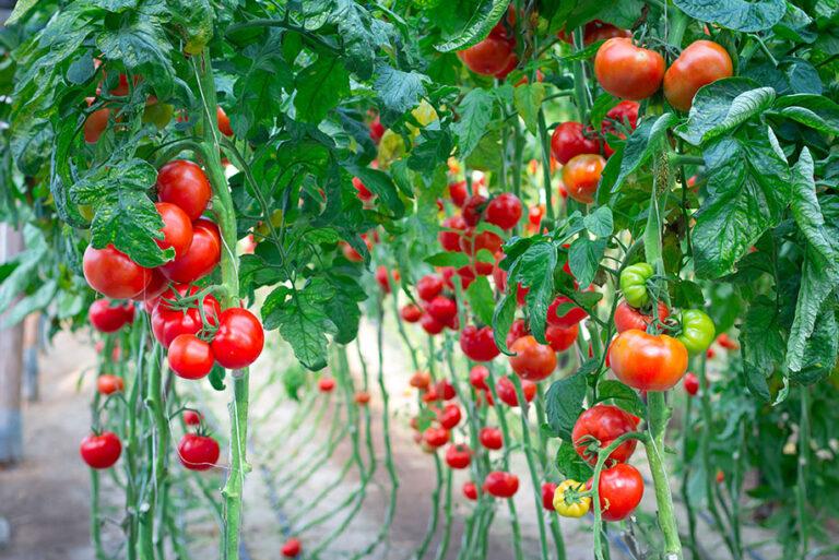 Greenhouse Tomato Production 5